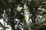Grey-headed Kite /  Leptodon cayanensis