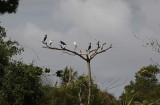 Little Blue Heron / Egretta caerulea
