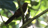 Little Cuckoo / Coccycua minuta