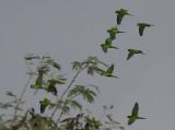 Brown-throated Parakeet / Aratinga pertinax