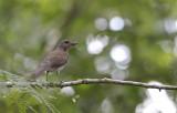 Pale-breasted Thrush / Turdus leucomelas