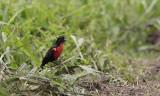 Red-breasted Blackbird / Sturnella militaris