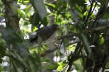 Roadside Hawk / Buteo magnirostris