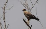 Savannah Hawk / Buteogallus meridionalis