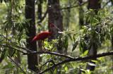 Scarlet Ibis / Eudocimus ruber