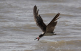 Black Skimmer / Rynchops niger