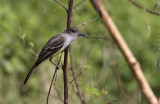 Short-crested Flycatcher / Myiarchus ferox