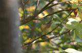 Raddes Boszanger / Radde's Warbler / Phylloscopus schwarzi