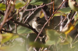 Bruine Boszanger / Dusky Warbler / Phylloscopus fuscatus