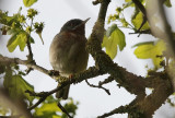 Baardgrasmus / Subalpine Warbler / Sylvia cantillans
