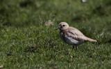 Woestijnplevier / Greater Sand Plover / Charadrius leschenaultii