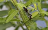 Gevlekte Witsnuitlibel / Leucorrhinia pectoralis