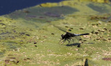 Sierlijke Witsnuitlibel / Leucorrhinia caudalis