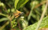 Geelsprietdikkopje / Thymelicus sylvestris