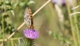 Grote Parelmoervlinder / Argynnis aglaja