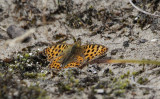 Kleine Parelmoervlinder / Issoria lathonia
