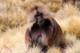 1045 Gelada Baboon.jpg