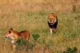 2771 Female Male Lions.jpg