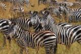 2874 Zebra closeup Maasai.jpg