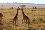 3037 Kissing Giraffes.jpg