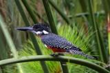 3308 Kingfisher Naivasha.jpg