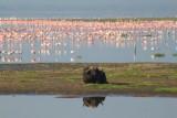 3532 Buffalo and flamingos.jpg