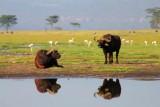 3541 Buffalo reflections.jpg