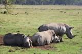 3594 White Rhinos Nakuru.jpg