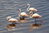 3729 Four Flamingos Nakuru.jpg