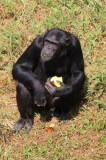 4205 Chimp feeding.jpg