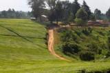 4401 Ugandan Tea Plantations.jpg