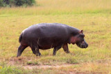 4564 Hippo QE Nat Park.jpg