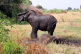 4657 Elephant dirt shower.jpg
