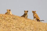 6328 Lion cubs Tarangire.jpg