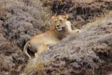 6621 Lioness hiding Ngorongoro.jpg