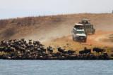 6664 Wildebeest Drinking Ngorongoro.jpg