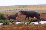 6842 Hippos playing.jpg