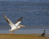 White Pelican and Cormorant