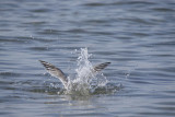 Tern diving for lunch