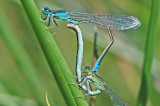 Scarce Blue-tailed Damselfly (Ischnura pumilio)