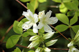 kaempferi leucanthum