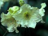'Greengold'
