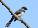 Fantail, Pied