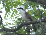 Laughingthrush, White-Crested