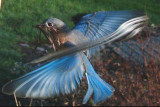 Bluebird Ghosts