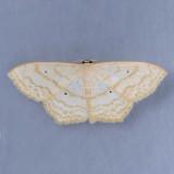 7159 Large Lace-border - Scopola limboundata