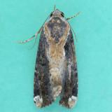 9637.1  Orbed Narrow-wing -Magusa divaricata