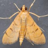 5212 Bean-leaf Webworm Moth - Omiodes indicata