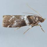 5775.2 Salebriaria rufimaculatella