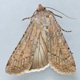 10704 – Euxoa edictalis